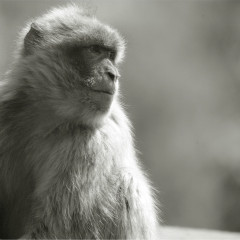 <strong>The Barbary macaque, Barbary ape, or Magot ENDANGERED in the IUCN Red List</strong>