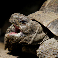 <strong>Hermann s tortoise NEAR THREATENED in the IUCN Red List</strong>