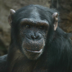 <strong>Chimpanzee ENDANGERED in the IUCN Red List</strong>