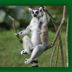 <strong>Ring-tailed lemur NEAR THREATENED in the IUCN Red List</strong>
