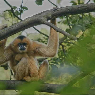 <strong>A northern white-cheeked female gibbon (Nomascus leucogenys) from South East Asia  CRITICALLY ENDANGERED in the IUCN Red List</strong>