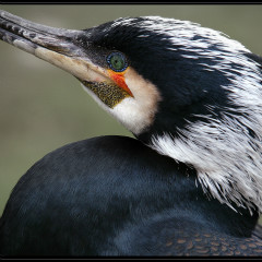 <strong>Great Black Cormorant LEAST CONCERN in the IUCN Red List</strong>