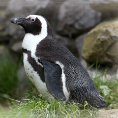 <strong>The African Penguin, also known as the Black-footed or Jackass Penguin ENDANGERED in the IUCN Red List</strong>