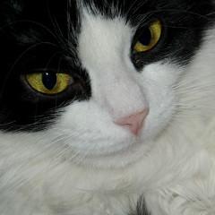 <strong>Black and White Cat head profile (Vlekje, age 8))</strong>