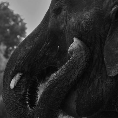 <strong>Asian Elephant</strong>