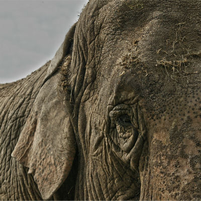 <strong>Asian Elephant ENDANGERED in the IUCN Red List</strong>
