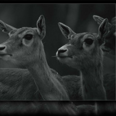 <strong>Axis Deer, Chital, Indian Spotted Deer LEAST CONCERN in the IUCN Red List</strong>