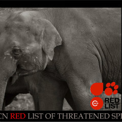 <strong>Asian or Asiatic Elephant ENDANGERED in the IUCN Red List</strong>
