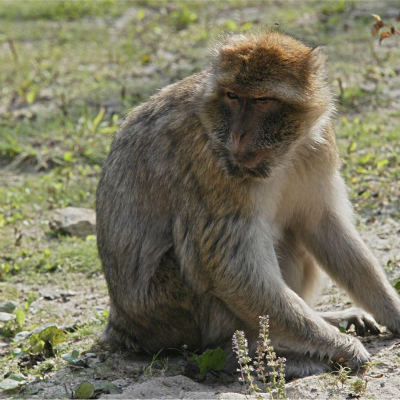 <strong>Barbary macaque ENDANGERED in the IUCN Red List</strong>