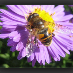 <strong>Bee on Aster</strong>