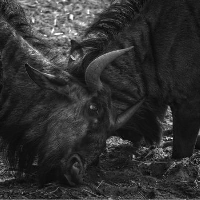 <strong>Blue wildebeest  or Connochaetes taurinus LEAST CONCERN in the IUCN Red List</strong>
