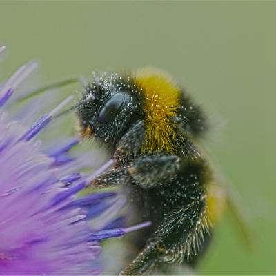 <strong>Bombus terrestris, the buff-tailed bumblebee or large earth bumblebee, is one of the most numerous bumblebee species in Europe</strong>