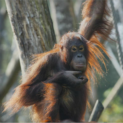 <strong>Bornean Orangutan ENDANGERED in the IUCN Red List</strong>
