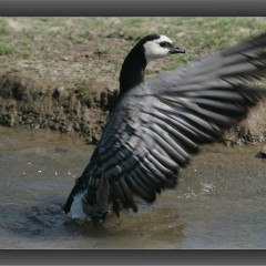 <strong>The Barnacle Goose LEAST CONCERN in the IUCN Red List</strong>