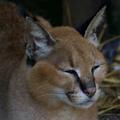 <strong>PF MAGAZINE - Beroeps Fotografen Nederland BFN: Caracal Lynx</strong>