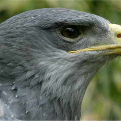 <strong>Black Buzzard-eagle, Grey Buzzard-eagle or Chilean Blue Eagle LEAST CONCERN in the IUCN Red List</strong>