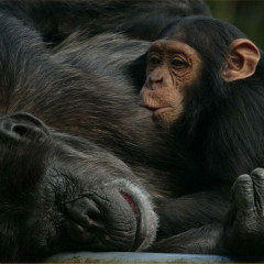 <strong>Importance of Parental Affection: Chimpanzee Mother and Child ENDANGERED in the IUCN Red List</strong>