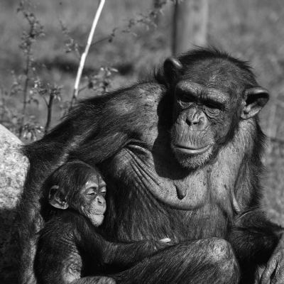 <strong>Chimpanzee mother and baby</strong>