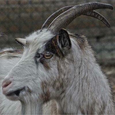 <strong>Domestic goat (Capra aegagrus hircus)</strong>