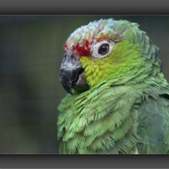 <strong>Lilacine Amazon, also known as the Ecuadorian Red-lored Amazon LEAST CONCERN in the IUCN Red List</strong>