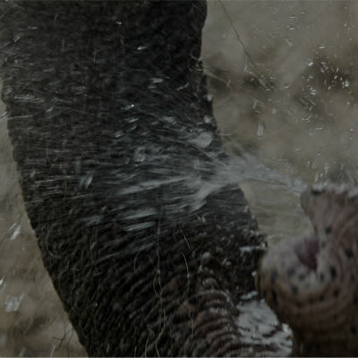 <strong>Elephant uses its trunk to spray water</strong>