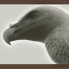 <strong>Young Griffon Vulture LEAST CONCERN in the IUCN Red List</strong>