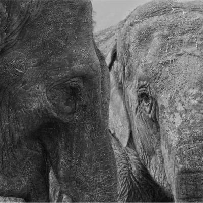 <strong>ASIAN ELEPHANTS CARLA and RHANI</strong>