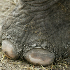 <strong>Asian Elephant Foot ENDANGERED in the IUCN Red List</strong>