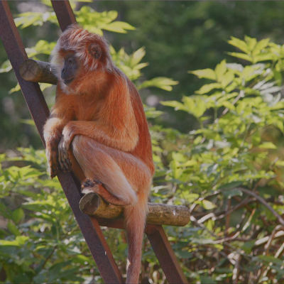 <strong>Javan Lutung or Ebony Lutung or Javan Langur VULNERABLE in the IUCN Red List</strong>