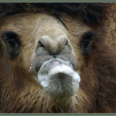 <strong>Bactrian camel CRITICALLY ENDANGERED in the IUCN Red List</strong>
