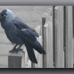 <strong>The Western Jackdaw, also known as the Eurasian Jackdaw, European Jackdaw or simply Jackdaw LEAST CONCERN in the IUCN Red List</strong>