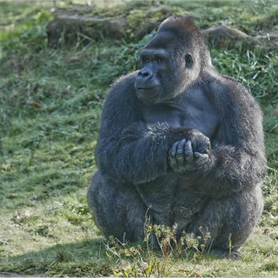 <strong>Male Western Lowland Gorilla CRITICALLY ENDANGERED in the IUCN Red List</strong>