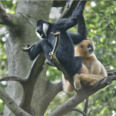 <strong>Northern white-cheeked male and female gibbon (Nomascus leucogenys) in South East Asia  CRITICALLY ENDANGERED in the IUCN Red List</strong>