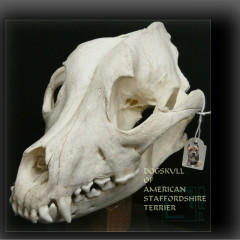 <strong>Skull of AmStaff</strong>