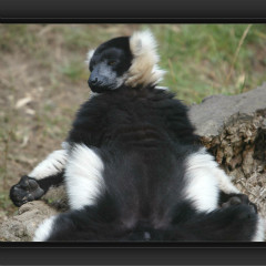 <strong>Black-and-White Ruffed Lemur CRITICALLY ENDANGERED in the IUCN Red List</strong>