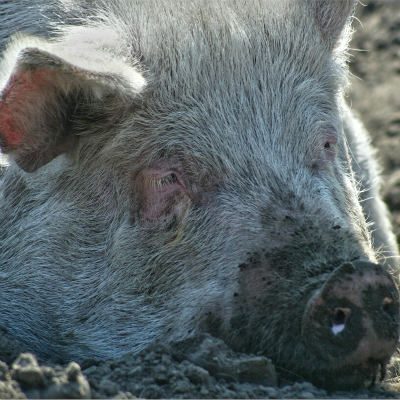 <strong>PIG</strong>