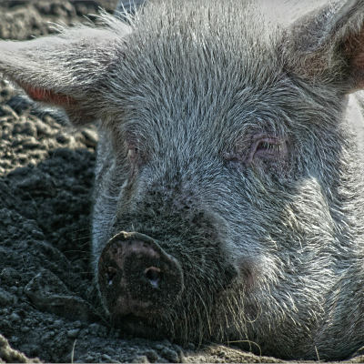 <strong>PIG IN MUD</strong>