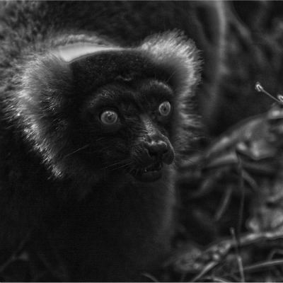 <strong>Red ruffed lemur (Varecia rubra) CRITICALLY ENDANGERED in the IUCN Red List</strong>