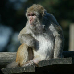 <strong>Rhesus Monkey LEAST CONCERN in the IUCN Red List</strong>