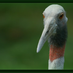 <strong>The Sarus Crane VULNERABLE in the IUCN Red List</strong>