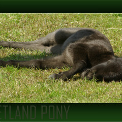 <strong>This young Shetland pony is the epitome of laziness, stretched out in the sun</strong>