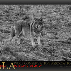 <strong>Wolf TALA (Wolf Conservation Association Europe Belgium) In Loving Memory Jan 4th 2011</strong>