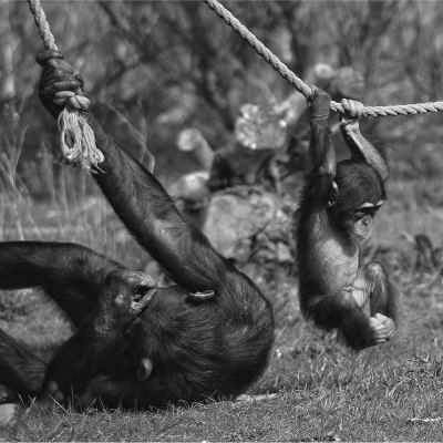 <strong>TEAMWORK           Chimpanzee Mother and Child ENDANGERED in the IUCN Red List</strong>