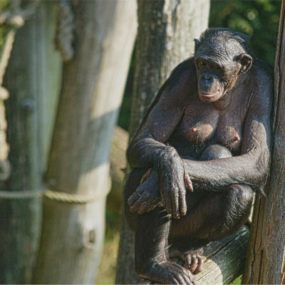 <strong>The BONOBO formerly called the PYGMY CHIMPANZEE, DWARF or GRACILE CHIMPANZEE   ENDANGERED in the IUCN Red LIst</strong>