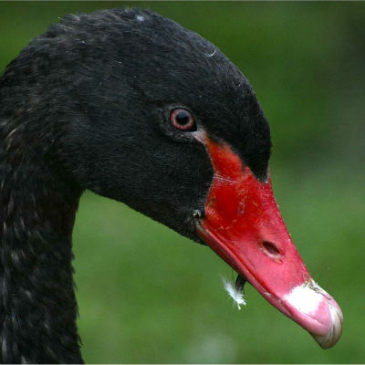 <strong>The black swan (Cygnus atratus) is a large waterbird, a species of swan, which breeds mainly in the southeast and southwest regions of Australia.</strong>
