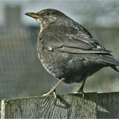 <strong>The common blackbird (Turdus merula)</strong>