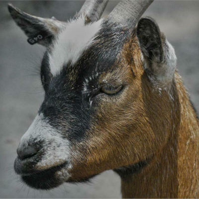 <strong>The domestic goat (Capra aegagrus hircus) is a subspecies of goat domesticated from the wild goat of southwest Asia and Eastern Europe</strong>