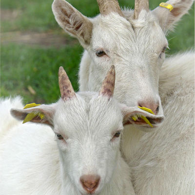 <strong>The domestic goat (Capra aegagrus hircus) with kid (baby goat)</strong>