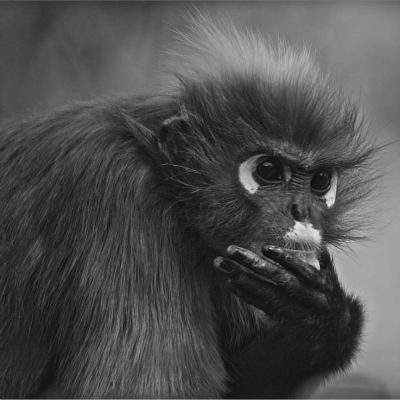 <strong>The dusky leaf monkey, spectacled langur, or spectacled leaf monkey (Trachypithecus obscurus) NEAR THREATENED in the IUCN Red List</strong>