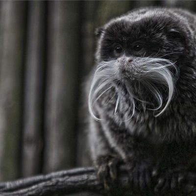 <strong>The emperor tamarin (Saguinus imperator) lives in the southwest Amazon Basin, in east Peru and north Bolivia LEAST CONCERN in the IUCN Red List</strong>